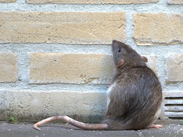 Costi-disinfestazione-topi-giardino-castenaso