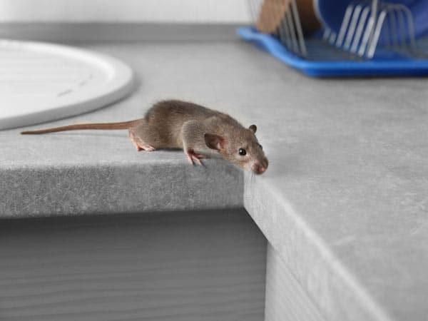 Disinfestazione-topi-bologna-castenaso