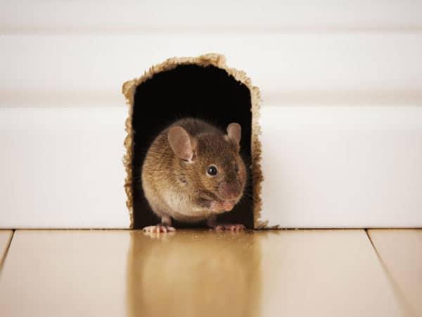 Preventivi-derattizzazione-topi-casa-castenaso