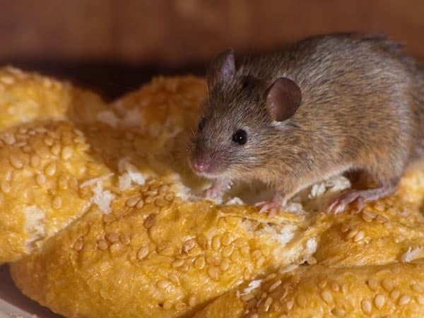 Preventivi-disinfestazione-ratti-giardino-bologna